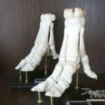 ポリデントにパイプユニッシュ!キッチンで作る骨格標本2(豚足編)