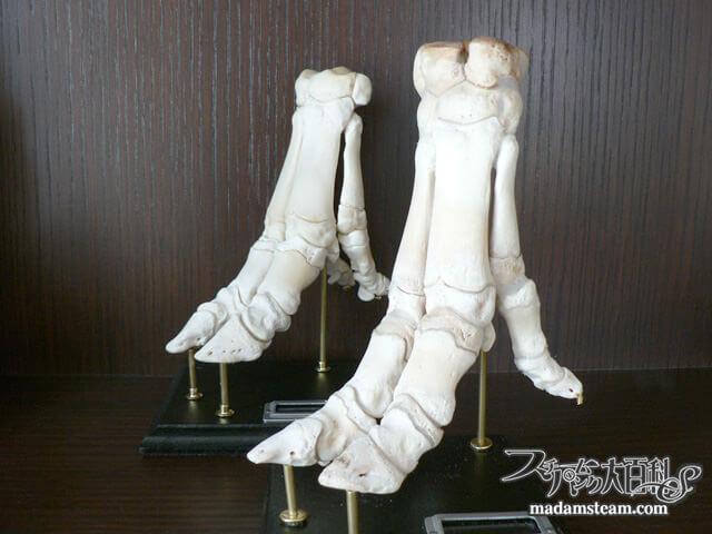 「骨格標本・豚足編」キッチンで作る標本2