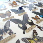 「蝶の標本」永遠の理科少年少女たちへ