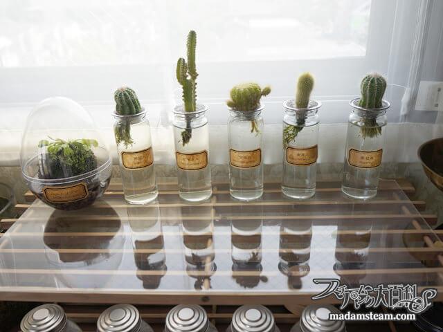 100円サボテンで理科趣味を楽しもう『サボテンの水栽培』
