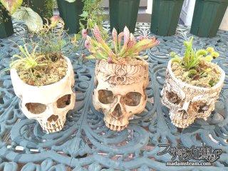 髑髏鉢と食虫植物(ハエトリソウ・サラセニア・モウセンゴケ)の育成