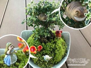 斑入りハクチョウゲの貼り苔盆栽【不思議の国のアリスシリーズ5】