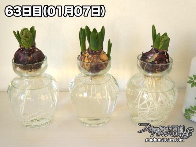 ヒヤシンスの育て方・水栽培