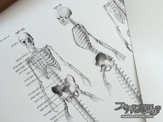 人魚解剖図