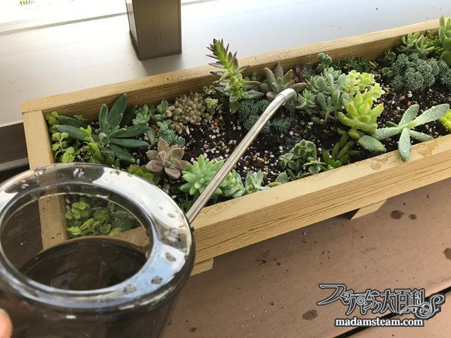 多肉植物のトリケラトプスガーデン2