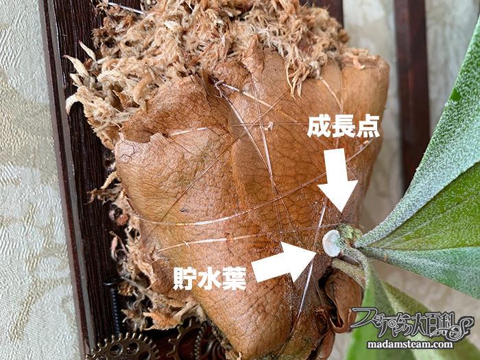 ビカクシダ(コウモリラン)の板付けの方法