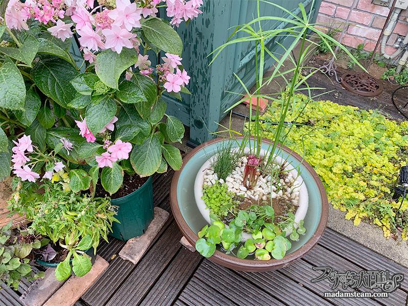 睡蓮鉢と水辺の植物