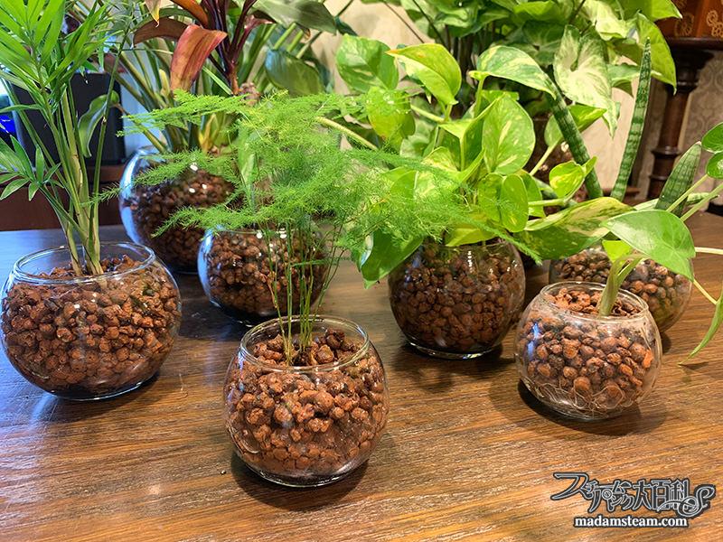 お風呂場の観葉植物(ハイドロカルチャー)
